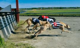 Greyhounds och Whippets